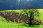 Winter Time  old wine vineyard Gers France